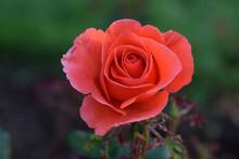 Candelabra Pink Rosebud 02