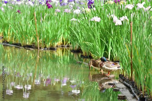 ショウブ園の鴨
