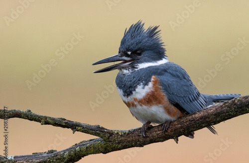 Photo  Belted Kingfisher