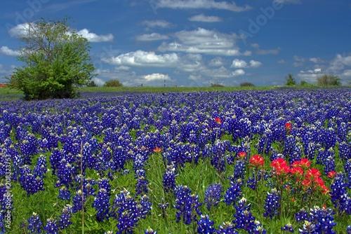Photo Texas bluebonnet landscape