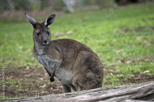 Photo Stands Kangaroo western grey kangaroo