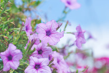 Petunia Purple On A Bouquet Of...