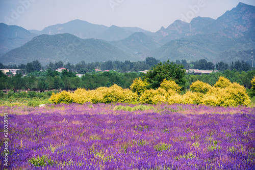 Poster Panoramafoto s A lavender garden in full bloom