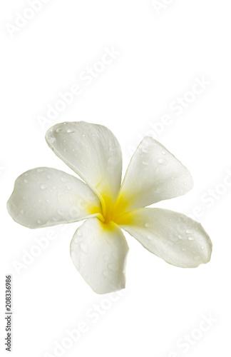 Foto op Plexiglas Magnolia Frangipani (plumeria) flower.