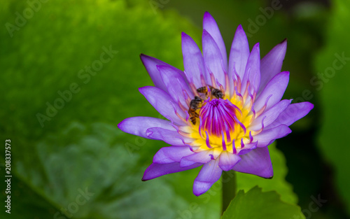 Foto op Canvas Lotusbloem Viotet lotus in a pond.