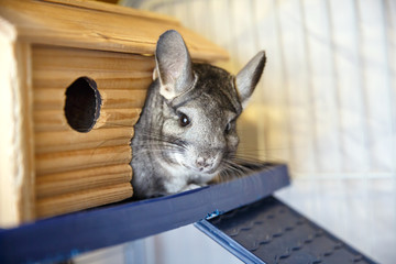 Cute grey chinchilla is sitting in the cage.