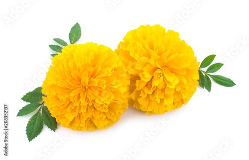 yellow Marigold flower, Tagetes erecta, Mexican marigold, Aztec marigold, Africa Canvas Print
