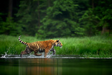 Amur Tige In The River. Action...
