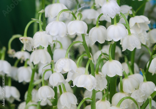 Wall Murals Lily of the valley Lily of the valley close-up