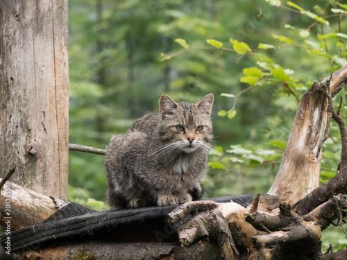 wildcat on a tree closup Canvas Print