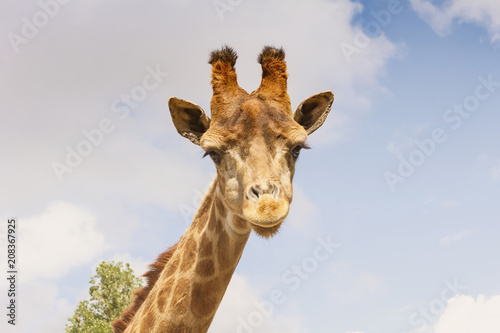 Cadres-photo bureau Girafe Portrait of a giraffe-head on a long neck.Against the sky.