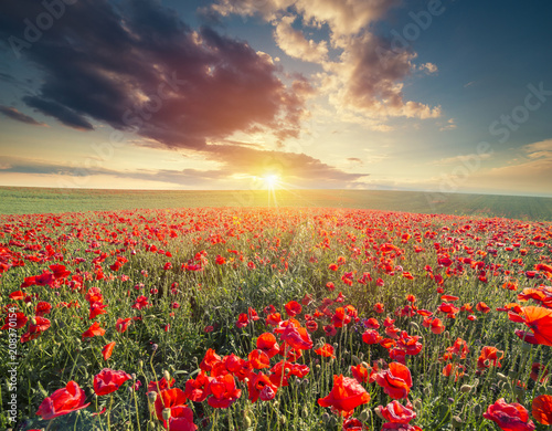 Fotobehang Cultuur green and red beautiful poppy flower field background