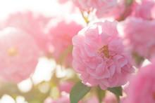 Pink Rose Bush Closeup On Fiel...