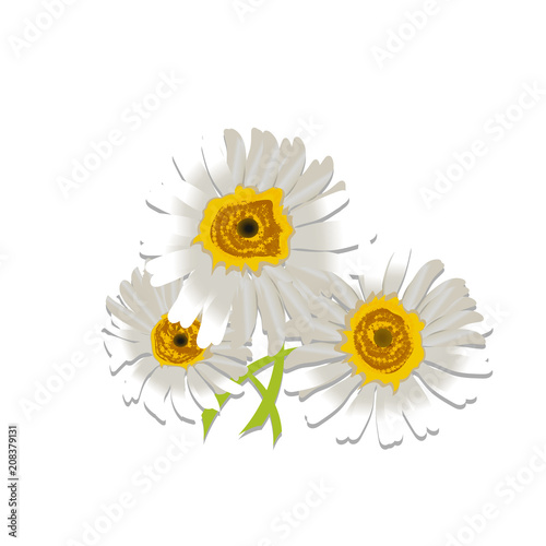 Foto op Canvas Madeliefjes chamomile flower beautiful and delicate on white background