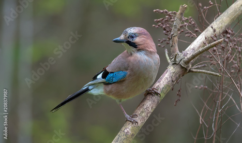 Fotografiet Eurasian Jay perched on a dry pine branch with grey background