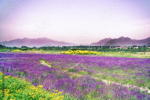 Fotobehang Wit Lavender flowers