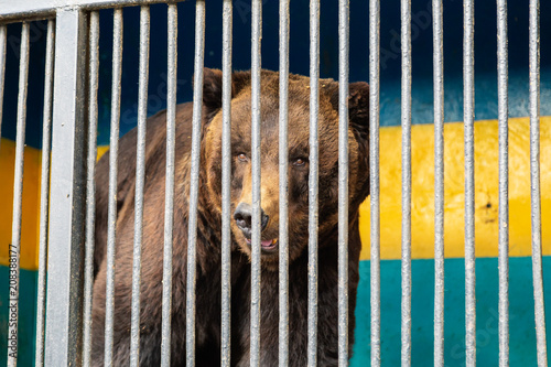 Canvas-taulu Bear in captivity in a zoo behind bars