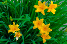 A Daylily Is A Flowering Plant...