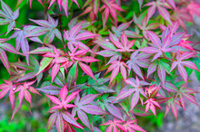 Japanese Maple, Acer Japonicum...