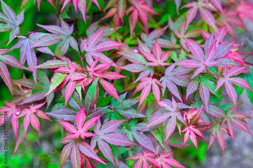 Photo japanese maple, acer japonicum. background