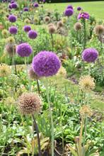 Allium Violet Au Jardin Au Printemps