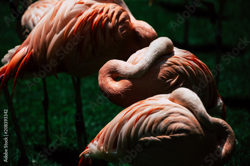 Valokuvatapetti Flamingos birds in zoo park stand on grass.