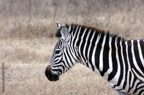 Foto op Canvas Zebra Zebra's Head