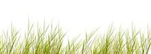 Freigestellte Schilfgräser