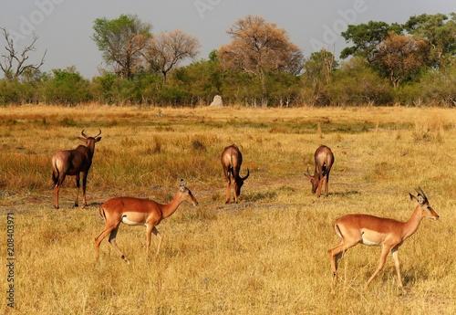 Poster Antilope herde
