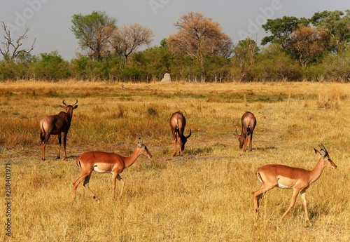 Spoed Foto op Canvas Antilope herde