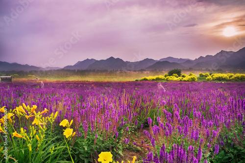 Foto op Aluminium Diepbruine Lavender Garden