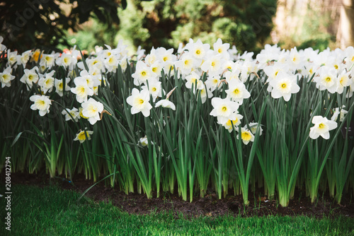 Group Of Yellow And White Flowers In Flower Bed Amsterdam Holland