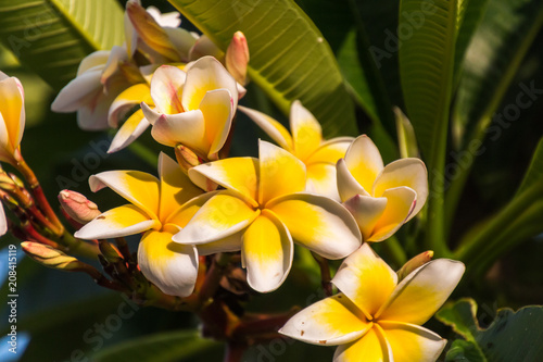 A Group Of White Frangipani Tropical Flowers Blooming On A Tree
