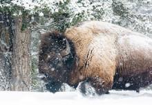 Bison Walking In Snow Shower