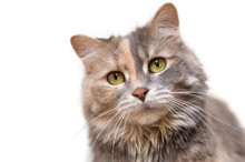 Portrait Of A Calico Cat Looki...