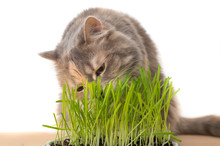Calico Cat Eating Cat Grass