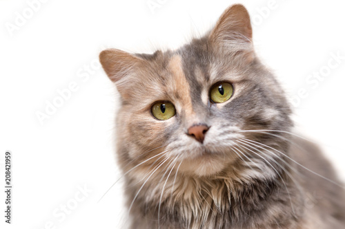 Portrait of a calico cat looking at the camera
