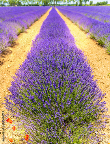 Foto op Plexiglas Lavendel Champ de lavande dans le sud de la France