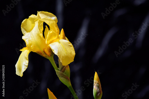 Yellow Iris on dark backgrounds