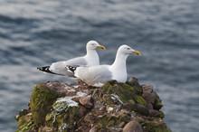 Gulls Couple Sitting On A Cliff, Scotland