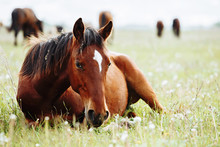 Horse Lies And Resting On Summ...
