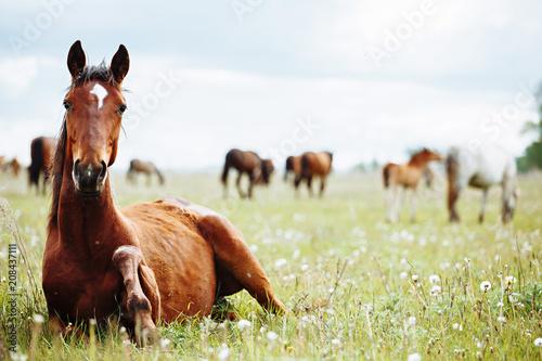 Fototapeta Horse lies and resting on summer pasture obraz