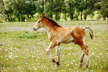 a small red-haired foal stands in a field in the background of a forest