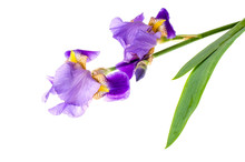 Iris Purple Garden Isolated On White Background