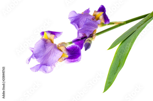 Foto op Plexiglas Iris Iris purple garden isolated on white background