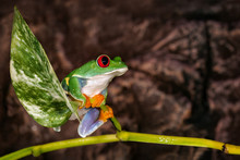 Red Eyed Tree Frog Sitting On ...