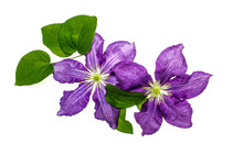 Clematis Flowers On White Background