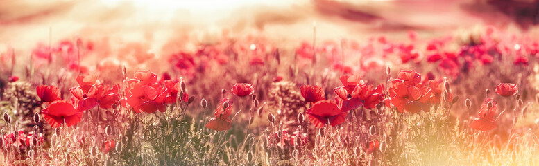 Meadow of poppies in the late afternoon - early evening, wild red poppies illuminated by rays of the setting sun - dusk, selective and soft focus on poppy