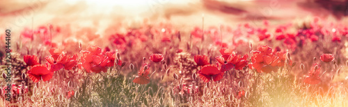 Fotoposter Poppy Meadow of poppies in the late afternoon - early evening, wild red poppies illuminated by rays of the setting sun - dusk, selective and soft focus on poppy