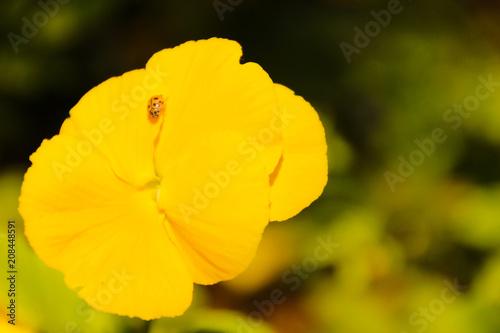 Poster  sarı çiçek ve uğur böceği